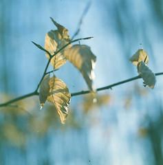 Backlit leaf (PaulHoo) Tags: kowa six leaf portra 160 nature bokeh amsterdamse bos forest tree dof 2017 light backlit sun blue contrast film analog 120 rolfilm 120film mediumformat holland netherlands