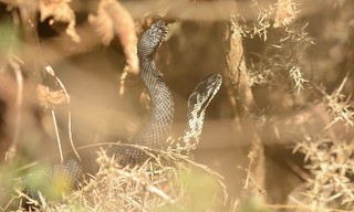Dance of the Adders (Vipera berus)