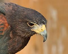 Harris Hawk (Bogger3.) Tags: harrishawk allerford exmoornationalpark somerset macro closeup sharpbeak canon600d canon18x135lens dof eyereflection coth5
