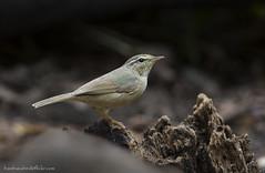 นกกระจิ๊ดอกลายเหลือง / Yellow-streaked Warbler / Phylloscopus armandii (bambusabird) Tags: animal wildlife bird warbler forest rainforest doilang chiangmai thailand