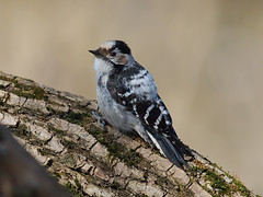 Lesser Spotted Woodpecker (female) (Oleg Chernyshov) Tags: lesserspottedwoodpecker dendrocoposminor малыйпестрыйдятел