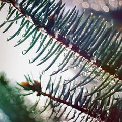 087 : 365 : VI (Randomographer) Tags: project365 pine tree conifer pinus plantae plant evergreen coniferous resinous branch wet droplet rain nature organic natural moisture h2o 87 365 vi photography prime
