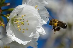 Abeille et fleur de cerisier-2.jpg (BoCat31) Tags: printemps