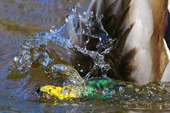 Plunge! (CdnAvSpotter) Tags: duck quack mallard plunge water river ottawa mud lake wildlife wildbird closeup explore canada ontario