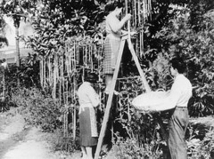 Spaghetti Harvest, BBC Newsreel from 1957.  Loaded 4-01-2017. Go to the video (polepenhollow) Tags: aprilfool silly ridiuclous bbc