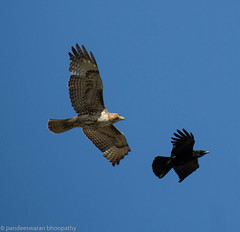 hawk and raven (pandeesh89) Tags: sanfrancisco california unitedstates us hawk raven black wild birds na north sf lo9cal fort mason events weekends beauty cool attacking race 100400 canon 5dmark3