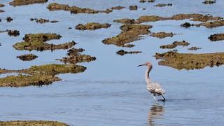 Reddish egret on the prowl