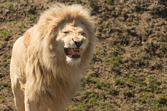 Here Kitty (Don Cortell) Tags: torontozoo lion cat panthera leo threatened endangered