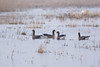 Suur-laukhani, Anser albifrons, Greater White-fronted Goose