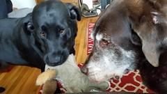 it's my birthday let's play tug a war oldman (xzna) Tags: dog labrador tugawar birthday