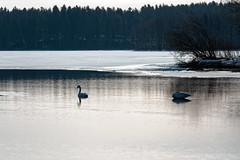 Iisalmi (Tuomo Lindfors) Tags: iisalmi suomi finland paloisvirta virta stream vesi water dxo filmpack joutsen swan lintu bird myiisalmi tamronsp70200f28divcusd
