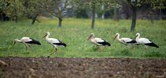 KUSA-0350 (Weinstöckle) Tags: storch weisstorch vogel wiese regen