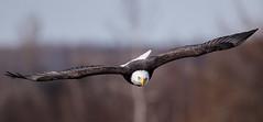 IMG_6203 Bald Eagle (Wallace River) Tags: aboiteau baldeagle bito icefishing wallacebay