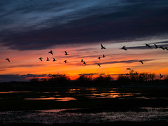 Night Flight (iPhilFlash) Tags: sunset nature garrypointpark outdoor animals animal clouds cloud silhouette wildbirds dusk snowgeese wildlife vancouver britishcolumbia bird geese sky canada water richmond outdoors steveston ca