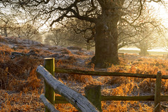 Bradgate Wood on a Frosty Morning (John__Hull) Tags: bradgate park wood frost fence tree trees ferns bracken morning sunlight winter nikon d3200 1855mm leicestershire countryside newtown linford charnwood landscape uk england