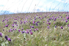 pasque flowers (I was blind now I see!) Tags: rare flower pasque purple closed open grass hillside sky clouds blue white