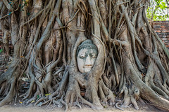 Buddha Head banyan tree Wat Mahathat Ayutthaya bangkok thailand (neejtshiabyaj) Tags: ayutthaya bangkok closeup religion thailand watphramahathat banyan banyantree buddha buddhism buddhist carving detail exteriors famousplace head landmark landmarks nobody outdoors travel traveldestination tree france