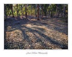 Bush Canvas (Tartan Ranga) Tags: australian art australia bush bushes trees gumtrees shadow leafs light landscape