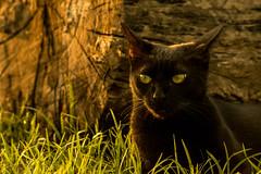Mimi (emanuel_grimaldi) Tags: cat pet mascota atardecer sunset nikon nikond3300 300mm f71