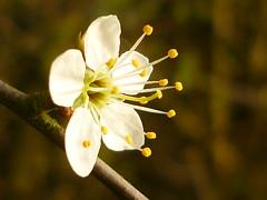 Schlehenblüte (Jörg Paul Kaspari) Tags: schlehe schwarzdorn blüte flower prunus spinosa prunusspinosa schlehenblüte