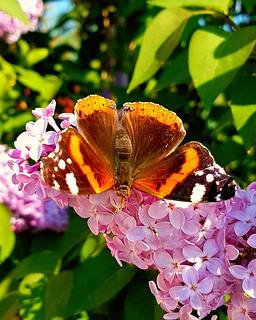 Butterfly vain