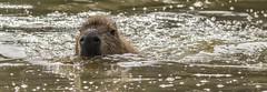 Capybara-11 (tiger3663) Tags: capybara yorkshire wildlife park