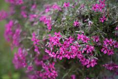 April 14/30 - Alpine phlox (Julisuzi) Tags: pink phlox alpine flower bright 50mmf18 d750 nikon