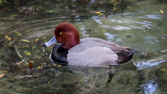 2X1A1312 (will Joudrey) Tags: red headed duck florida wild