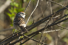 Chipping Sparrow (christopheradler) Tags: chipping sparrow spizella passerina
