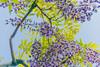 DSC_1586 (sayo-tsu) Tags: 藤 wisteria 牛島のフジ 春日部市 埼玉県 kasukabe saitama 特別天然記念物