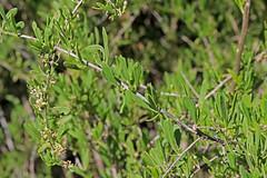 CAD0009540a (jerryoldenettel) Tags: 170415 2017 asterids lycium lyciumtorreyi nm perchadamstatepark sierraco solanaceae solanales torreyswolfberry wildflower berry bush flower shrub wolfberry