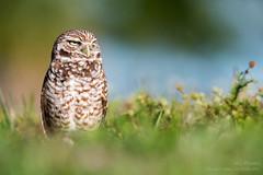 Well, I'owl Be... (ac4photos.) Tags: owl burrowingowl nature wildlife animal bird florida naturephotography wildlifephotography animalphotography birdphotography owlphotography nikon d500 tamron 150600mm ac4photos ac