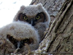 A couple of Great-Horned Owlets are waiting for their mother to bring some food back. (kennethkonica) Tags: nature bird canonpowershot global random hoosiers marioncounty midwest america usa indiana indianapolis indy colors animaleyes animal outdoor c owelet owl greathornedowl macro spring april wildlife wild pair bestshotoftheday two