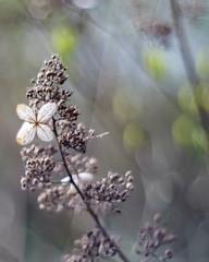 It's All A Blur (Fourteenfoottiger) Tags: blur bokeh swirlybokeh flower hydrangea seeds vintagelens pentacon pentaconf1850mm foliage dof depthoffield faded old spring aged spent textures