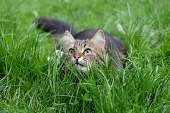 Mitzi 2 (tomivek) Tags: cat grass spring lawn outside flowers hunting