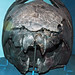 Dunkleosteus terrelli (fossil fish) (Cleveland Shale Member, Ohio Shale, Upper Devonian; Rocky River Valley, Cleveland, Ohio, USA) 24