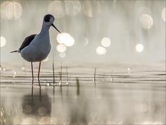DSC_5451a (Viktor Honti) Tags: nikon d7100 wildlife nature bird bokeh hungary himantopus water tamron 150600