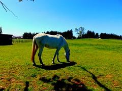 Buen dia de terreno en el Haras (Pablo Esteban Vera) Tags: horse naturaleza nature caballo osorno surdechile magiadelsur