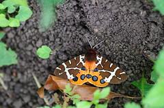 Brauner Bär Garden Tiger (Aah-Yeah) Tags: butterfly garden bayern tiger caja bär schmetterling achental brauner chiemgau tagfalter arctia marquartstein