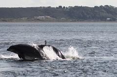 Dolphins. (Seckington Images) Tags: dolphin morayfirthdolphins