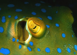 Eye of a Blue spotted Ray