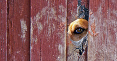 Peek-a-Boo 02 (brentflynn76) Tags: dog eye animal fence photo funny humor canine humour curious curiosity