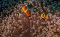 DSC05579.jpg (Vaajis) Tags: asia underwater diving malaysia borneo mabul seaanemone falseclownanemonefish