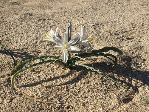 desert lily, Hesperocallis undulata