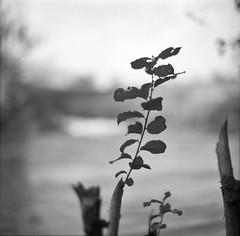 si sta come d'autunno sugli alberi le foglie ;/) (schyter) Tags: camera bw 120 6x6 film mediumformat shanghai bn 150 soviet epson ttl v600 kiev medio 60 analogica cccp 128 analogic formato 80mm pellicola gp3 adox volna3 aph09 chebarkul