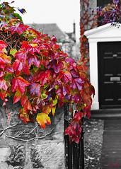 autumn ivy (Hal Halli) Tags: autumn fall crimson leaves scotland amber fife kirkcaldy artdigital sharingart