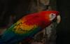 Papagayo (faltimiras) Tags: ecuador ruins ruinas parrots cuenca ingapirca tucan ruines tuca papagayos guacamayos lloros ingapirka