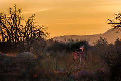 The Quiet Of The Morning 10-11-14 (Larry Smith2010) Tags: oklahoma sunrise hawk fawn wichitamountains blend wichitamountainswildliferefuge compositeimage larrysmith
