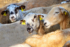 Staying together (marinadelcastell) Tags: sheep union flock together ensemble insieme mouton oveja juntos schaf ramat unión rebaño unione junts zusammen pecora ovella gregge troupeau herde unió vereinigung