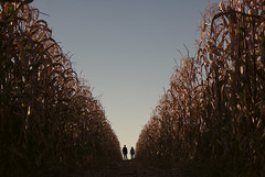 Zipper (reinfected) Tags: new york autumn sky ny fall leaves silhouette corn seasons farm orchard clear farms simple stalk